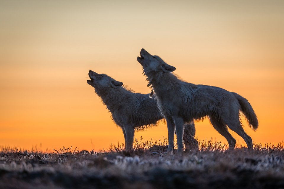 zdjęcie z wilkami